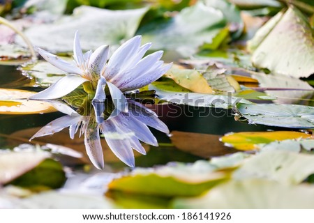 Lotus water lilly flower blooming at the garden pond. Tranquil scene - stock photo