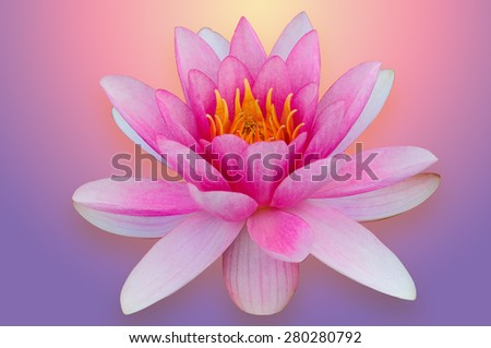 Lotus water lily isolated with clipping path pink and purple  - stock photo