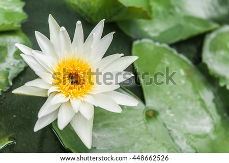 lotus, white lotus, white lotus flower against on water and green leaves - stock photo
