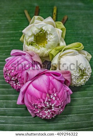 lotus with folded petals