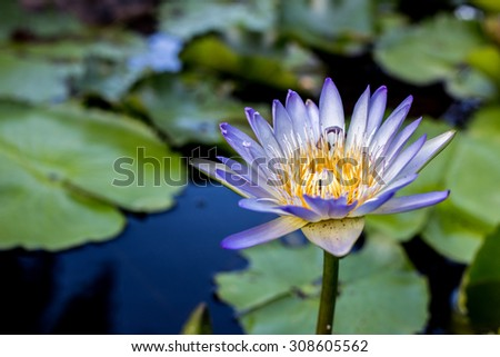 Lotus with pond background ,selective focus