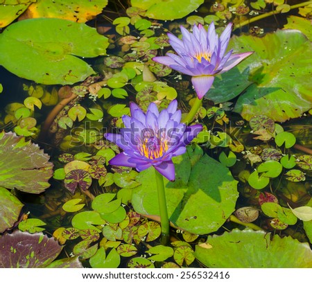 Lotus with purple flowers which bloom above the lush foliage. - stock photo