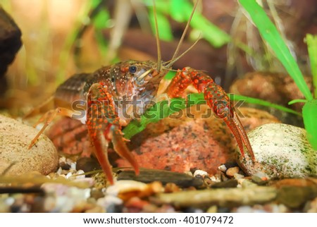 louisiana swamp crayfish Procambarus clarkii in a natural underwater environment - stock photo