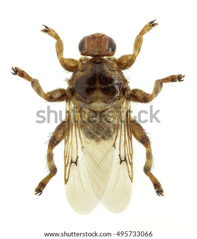 Louse fly Hippobosca equina, a common parasite of mammals