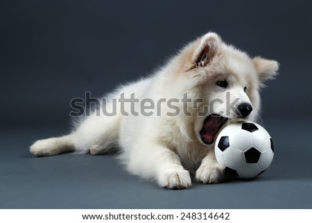 Lovable Samoyed dog playing with ball on dark background - stock photo