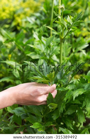 lovage outdoor in the garden, woman is picking some - stock photo