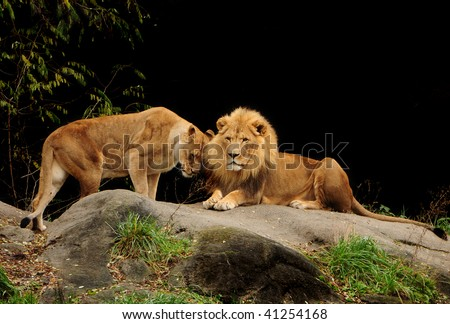 Love among animals - Loving pair of lion and lioness who are just made for each other - stock photo