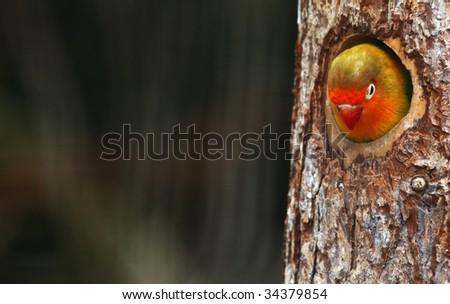love birds , Agopornis fischeri - stock photo
