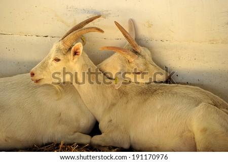 Love Goats - stock photo