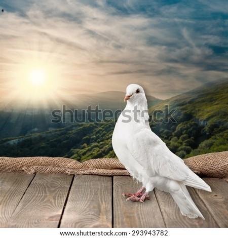 Love, white, pigeon. - stock photo
