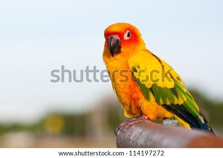 Lovebird closeup with sky - stock photo