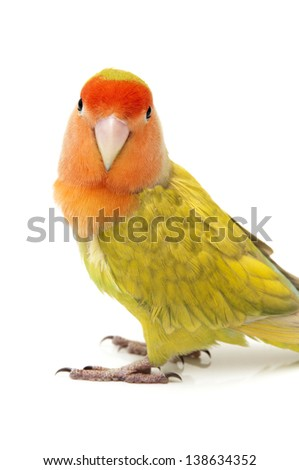 Lovebird colors on a white background