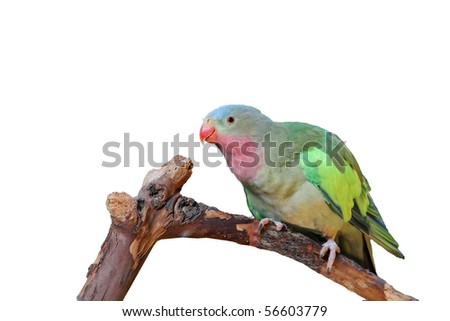 Lovebird with pink and green feathers perched on a branch and isolated on a white background - stock photo