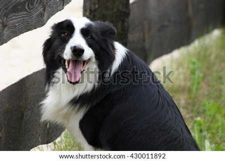 Lovely and cute dog with funny face. Interesting dog breed. Dog photography outdoor. . Animal shot capturing dog. Border collie. - stock photo