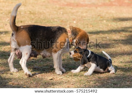 Lovely Beagle puppy playing on ground in the morning.
