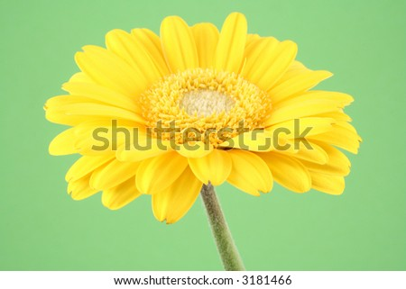 lovely bright gerbera isolated on green