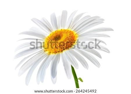 lovely chamomile on white background - stock photo