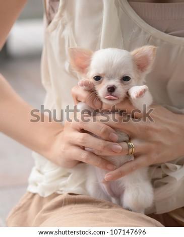 lovely chiwawa puppy - stock photo