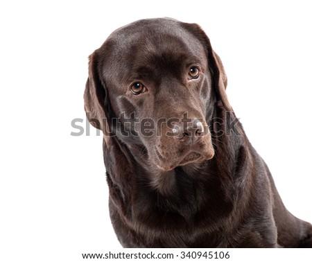 Lovely chocolate labrador sitting on white background - stock photo
