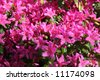 Lovely delightful blooming of pink rhododendrons , azalea at spring - stock photo