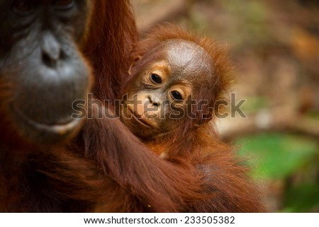 Lovely faces of Orangutan in south Borneo Indonesia. - stock photo