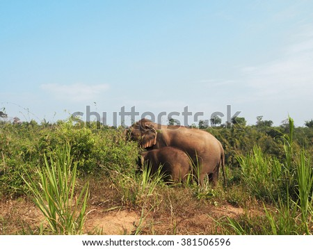 Lovely family (mother and baby) of Wild Elephant walking on the hill in Chiangrai (Golden Triangle area) ,Thailand - February 2016