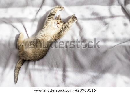 lovely fluffy kitten British golden chinchilla ticked luxuriates in the rays of the evening sun - stock photo