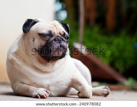 lovely funny white cute fat pug dog close up in elegance posting on the garage floor in a country house making moody face under natural sunlight on a sunny day looking for friends to play with. - stock photo