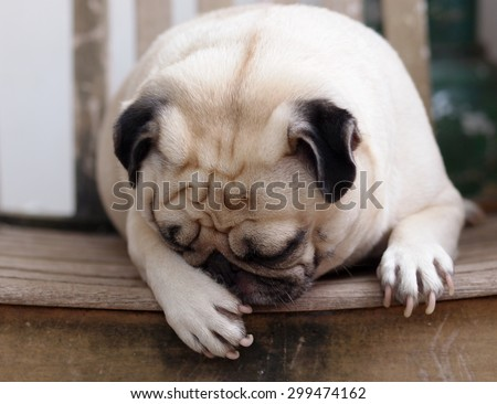 lovely funny white cute fat pug dog close up laying on a wooden chair making funny face - stock photo