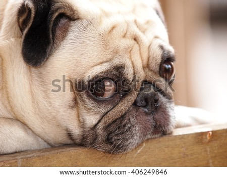 lovely funny white cute fat pug dog close up laying on a wooden chair making funny face outdoor on a sunny day in summer - stock photo