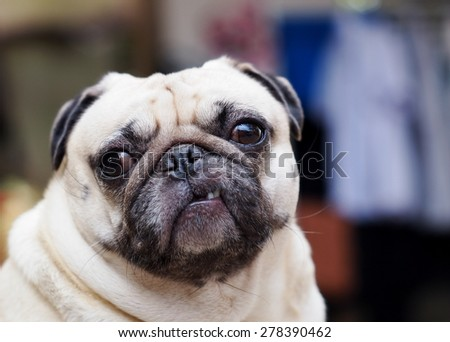 lovely funny white cute fat pug dog close up posting on a table on garage floor in a country house making moody face under natural sunlight on a sunny day looking for friends to play with. - stock photo