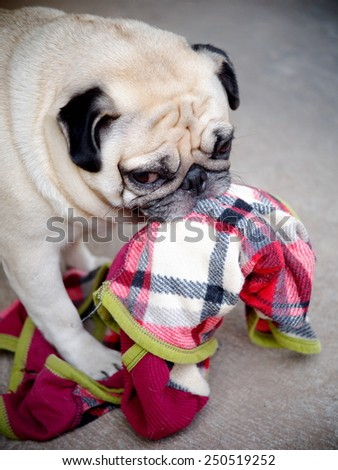lovely funny white cute fat pug dog playing clothes on the concrete garage floor in a country house making moody face under natural sunlight on a sunny day looking for friends to play with. - stock photo