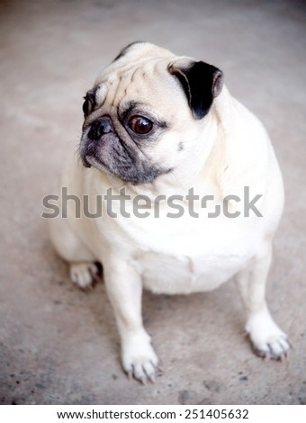 lovely funny white cute fat pug dog posting on the concrete garage floor in a country house making moody face under natural sunlight on a sunny day looking for friends to play with - stock photo