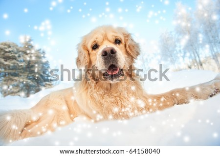 Lovely golden retriever playing in the snow - stock photo