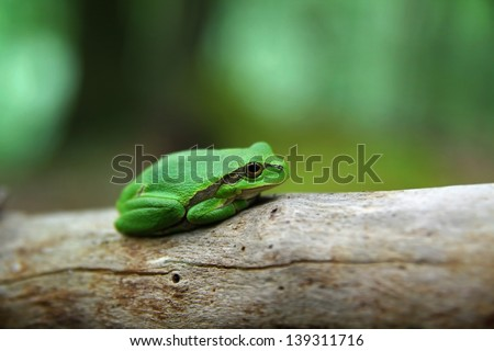 Lovely green treefrog in the forest - stock photo
