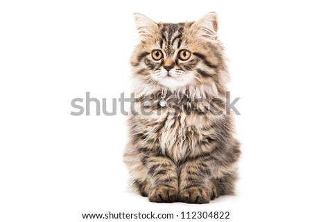 Lovely grey persian kitten sitting on isolated white white background