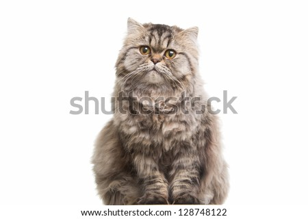 Lovely grey persian kitten sitting on isolated white white background - stock photo