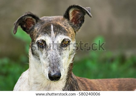Lovely greyhound portrait outdoor