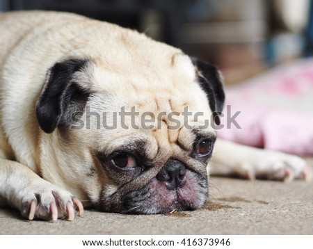 lovely happy white fat cute pug dog laying on the home garden floor under warm summer sunlight making funny face with home outdoor surrounding bokeh background