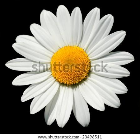 Lovely isolated daisy, with a shining heart - stock photo