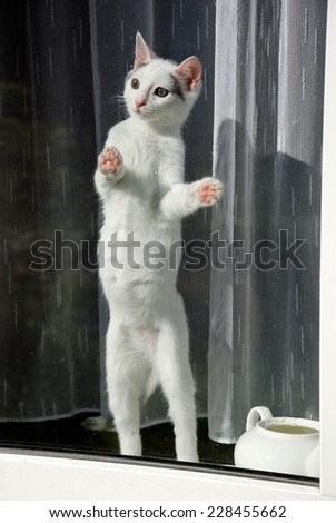 Lovely kitten standing on the hind legs on the window sill and looking through  - stock photo