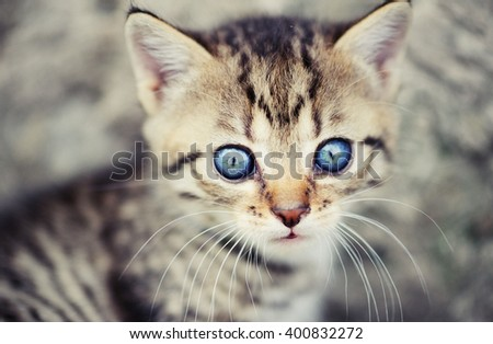 lovely kitty with blue eyes on the blurred background