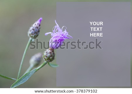 Lovely Knapweed (Centaurea stoebe) Stationery nice for any digital message