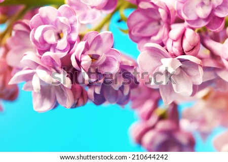 lovely lilac flowers on a blue background  - stock photo