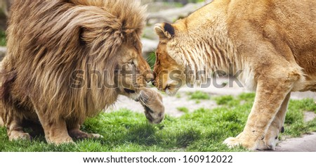 Lovely Lion and Lioness - stock photo