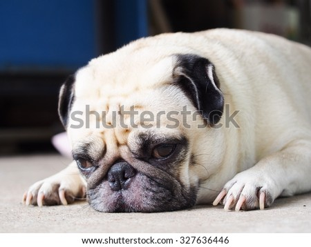 lovely lonely white fat cute pug dog laying on the floor making sadly face with home outdoor surrounding bokeh background
