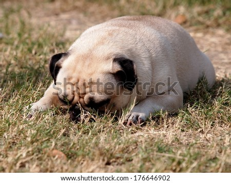 lovely lonely white fat pug portraits close up lying on the floor with brown green grass field making sad face close his eyes under bright sunlight and nice bokeh background