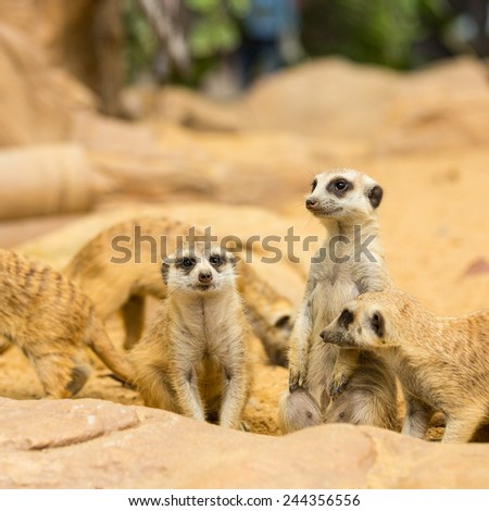 Lovely Meerkats looking something in natural wild - stock photo