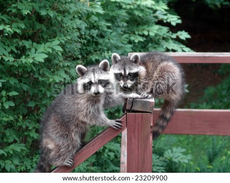 Lovely pair of raccoons resting and starring on a deck during the day - stock photo