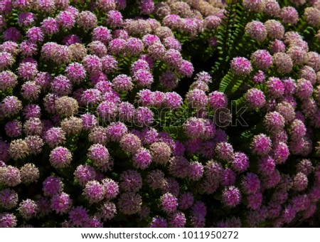 Lovely pimelea ferruginea rice flower thymelaeaceae stock photo lovely pimelea ferruginea rice flower of the thymelaeaceae family with pink flowers blooming in the coastal mightylinksfo Images